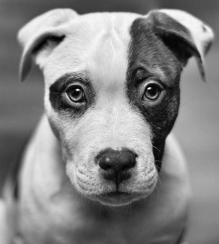 american-animals-black-and-white-cute-dogs-Favim.com-455818