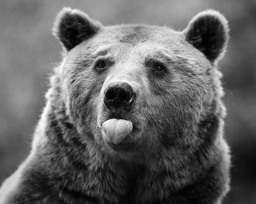 animal,bear,black,and,white,tongue-b11774d743b9bc61a9b33e09cfa19c81_h