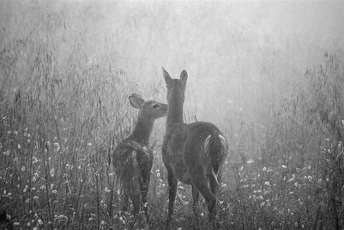 animals-black-and-white-cute-deer-vintage-Favim.com-444281