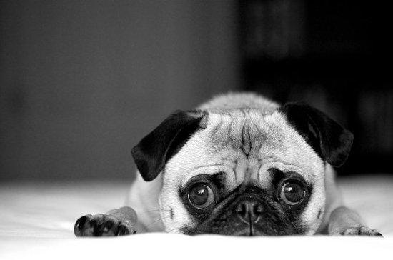 animals-black-and-white-cute-dog-pug-Favim.com-278985