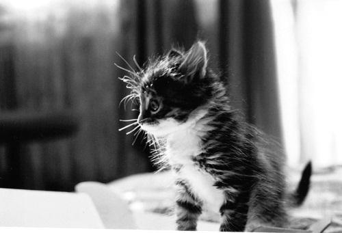 adorable-animal-black-and-white-cat-cute-Favim.com-255131
