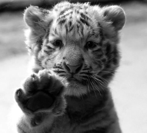 animal-black-and-white-cat-cats-cute-Favim.com-305205