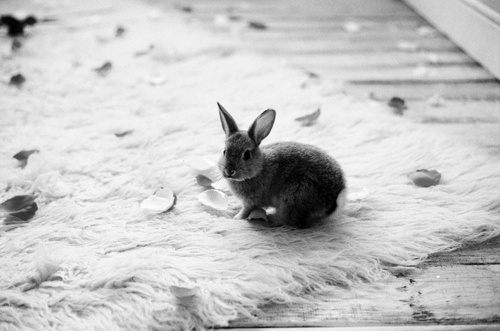animals-black-and-white-cute-rabbit-Favim.com-450098